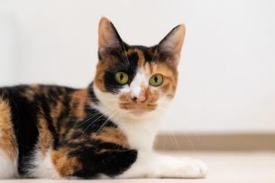 カーペットでくつろぐ細身の三毛猫の写真素材 [FYI04596785]