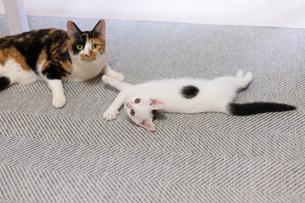 三毛猫と遊ぶ白い子猫の写真素材 [FYI04596787]
