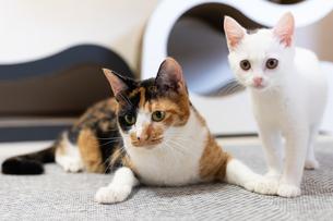 白い子猫と細い三毛猫の写真素材 [FYI04596789]