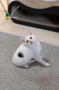 猫じゃらしを狙う子猫の写真素材 [FYI04596791]