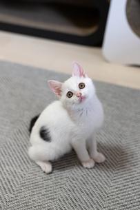 上を見つめる子猫の写真素材 [FYI04596792]