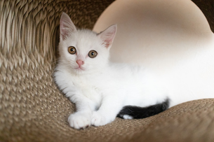 カメラを見つめる子猫の写真素材 [FYI04596797]