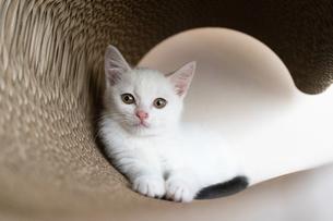 尻尾が黒い白黒の子猫の写真素材 [FYI04596798]