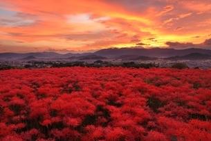 朝焼けの大和三山と彼岸花の写真素材 [FYI04596804]