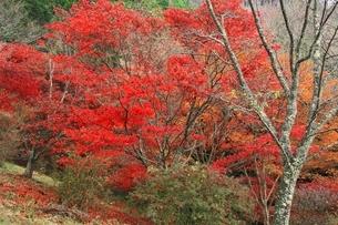 榛原鳥見山公園 紅葉風景の写真素材 [FYI04596814]