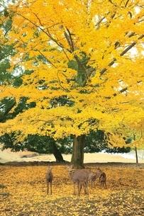 紅葉の奈良公園とシカの写真素材 [FYI04596815]