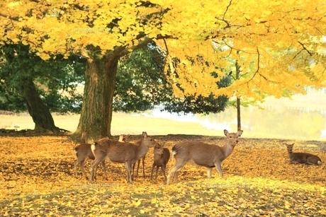 紅葉の奈良公園とシカの写真素材 [FYI04596816]