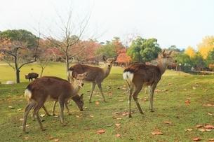 紅葉の奈良公園とシカの写真素材 [FYI04596817]