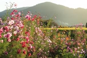 コスモスの花と三輪山の写真素材 [FYI04596858]