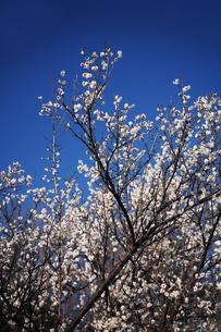 梅の花・新冬至の写真素材 [FYI04596893]