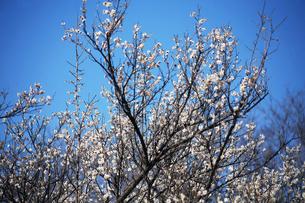 梅の花・新冬至の写真素材 [FYI04596898]