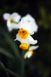 香る日本水仙の花の写真素材 [FYI04596904]