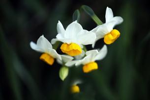 香る日本水仙の花の写真素材 [FYI04596905]