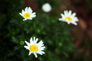 白いクリサンセマムの花の写真素材 [FYI04596915]