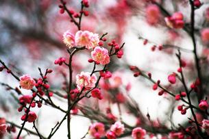 梅・紅梅の花の写真素材 [FYI04596918]