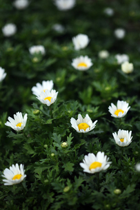 クリサンセマムの花咲くの写真素材 [FYI04596947]