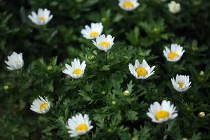 クリサンセマムの花咲くの写真素材 [FYI04596948]