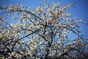 枝垂れ梅の花・八重満月枝垂れの写真素材 [FYI04596970]