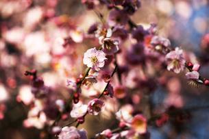 枝垂れ梅の花・藤牡丹枝垂れの写真素材 [FYI04596971]