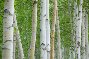 白樺の木の写真素材 [FYI04597022]