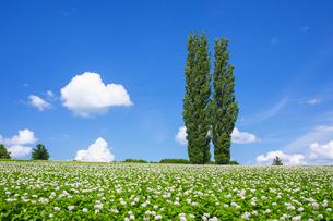 花咲くジャガイモ畑とポプラの木の写真素材 [FYI04597026]