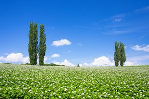 花咲くジャガイモ畑とポプラの木の写真素材 [FYI04597027]