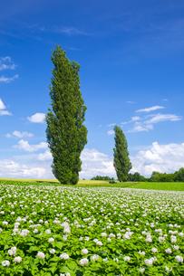 ジャガイモの花とポプラの木の写真素材 [FYI04597032]