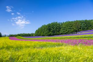 花畑咲くファーム富田の写真素材 [FYI04597051]