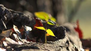 新しい芽の写真素材 [FYI04597144]