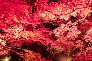 京都市のライトアップされた美しい紅葉の写真素材 [FYI04597189]