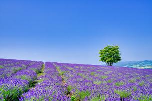 ラベンダー畑と青空の写真素材 [FYI04597266]