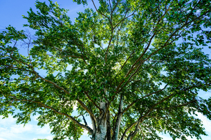 白樺の大木の写真素材 [FYI04597273]