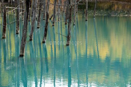 秋の黄葉を映す青い池の水面の写真素材 [FYI04597313]