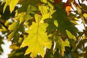 逆光の緑のアカナラの葉の写真素材 [FYI04597314]
