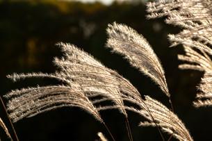 夕日を浴びて輝くススキの穂の写真素材 [FYI04597315]
