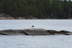岩でたたずむ鳥の写真素材 [FYI04597366]