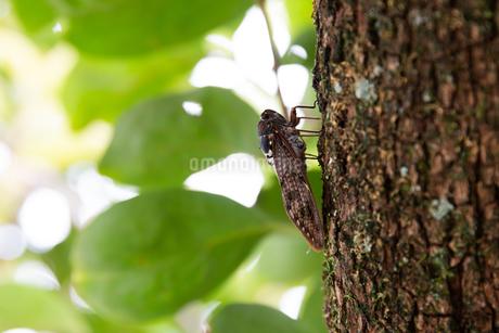 木にとまるアブラゼミの写真素材 [FYI04597473]