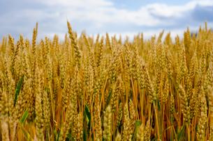 小麦畑の写真素材 [FYI04597874]