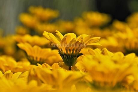 花壇の中の黄色いキンセンカの写真素材 [FYI04598025]