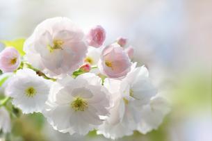 八重桜の写真素材 [FYI04598454]