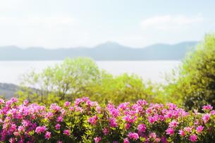 丘に咲くツツジ の写真素材 [FYI04598462]