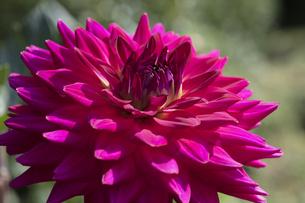 ダリアの花の写真素材 [FYI04598907]