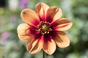 ダリアの花の写真素材 [FYI04598916]