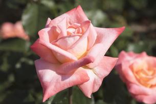 バラの花の写真素材 [FYI04598928]
