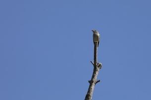 樹上のコサメビタキの写真素材 [FYI04599021]