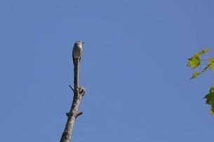 樹上のコサメビタキの写真素材 [FYI04599023]