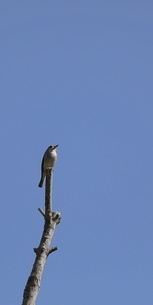 樹上のコサメビタキの写真素材 [FYI04599025]