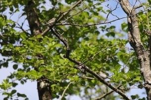 樹上のコサメビタキの写真素材 [FYI04599029]