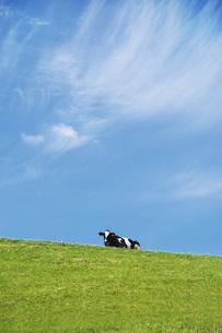 八雲町育成牧場のウシの写真素材 [FYI04599162]