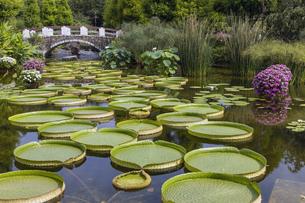 パラグアイオニバス 草津市立水生植物公園の写真素材 [FYI04599423]